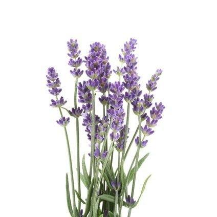 BIO Lavendel (15 g)