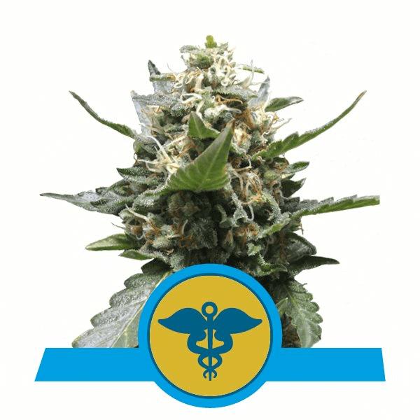 RQS CBD-Samen Royal Medic feminisiert (5 Stk.)